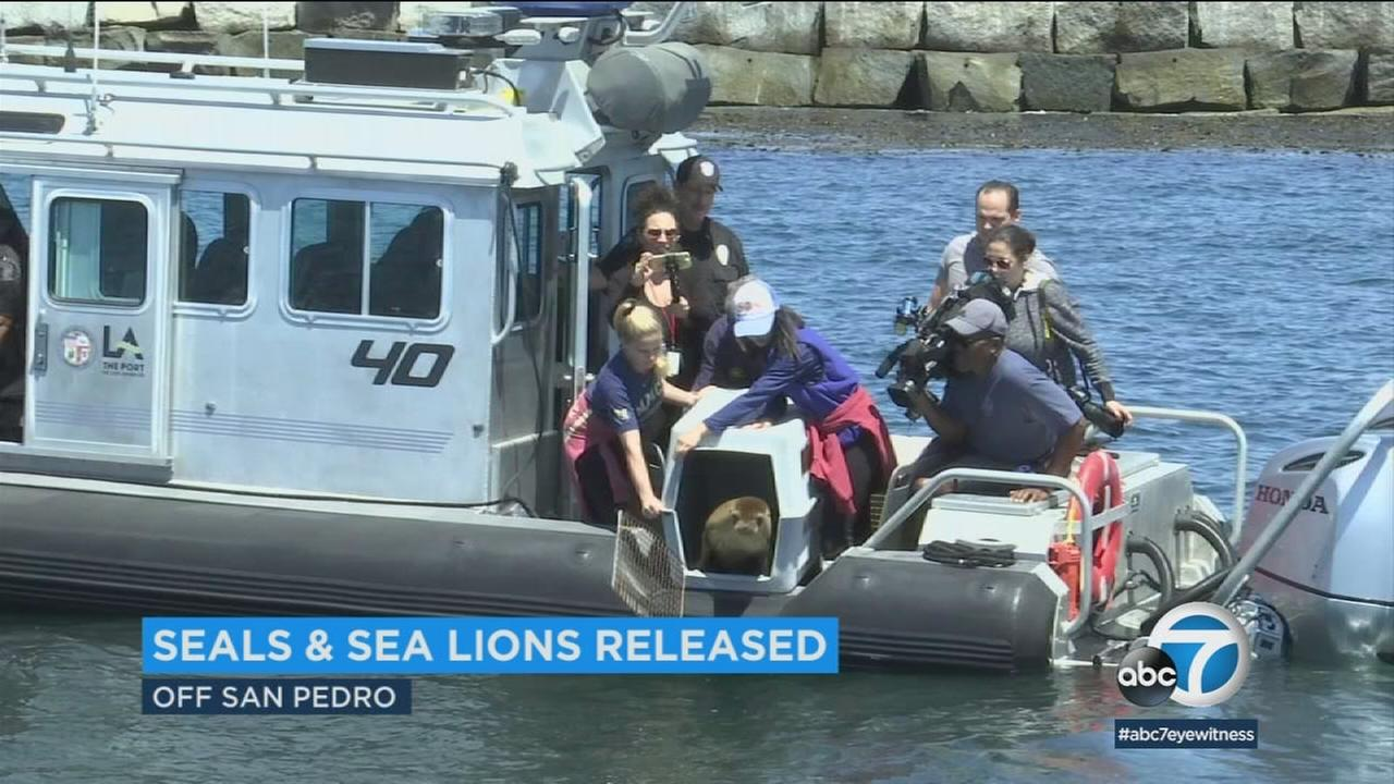 Los Angeles police offered resources and time to help a marine mammal group release rehabbed seals and sea lions back into the ocean.