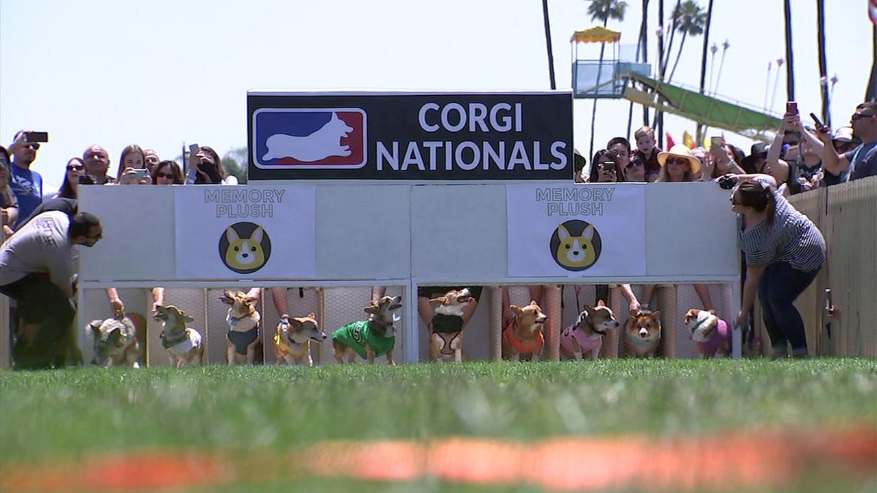 Corgis are shown right before they raced one another during the SoCal nationals at the Santa Anita Race Track in Arcadia.