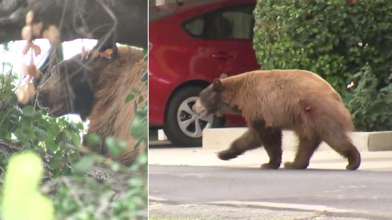 A large bear parked itself atop a tree in La Verne and ran around the neighborhood before eventually being tranquilized and taken back to the forest on Thursday, May 31, 2018.