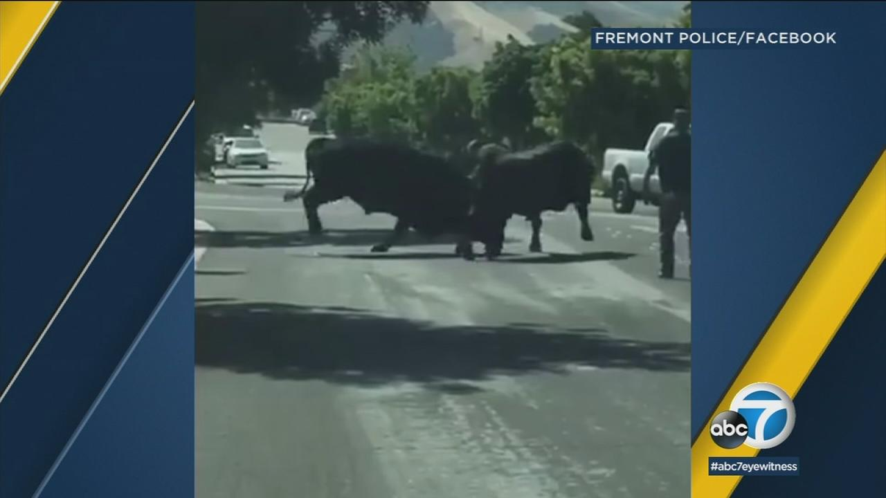A pair of bulls in the California city of Fremont were captured on video fighting in the middle of the street.