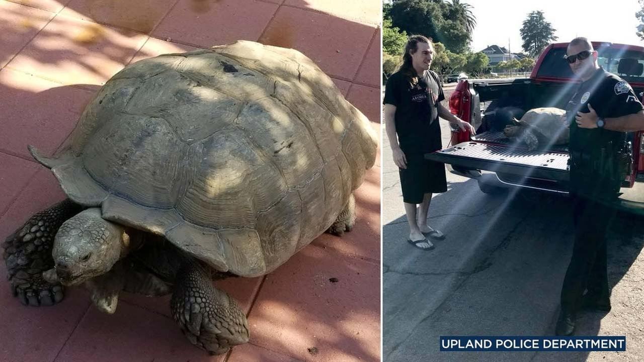 Upland police posted these photos on Facebook showing a large tortoise found wandering the city on Saturday, June 9, 2018.