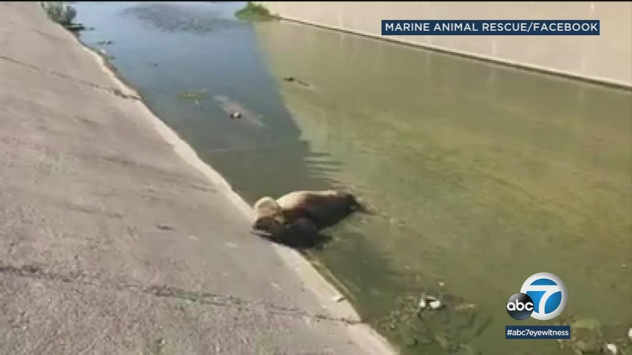 A sea lion swam up the flood control channel in Long Beach, miles away from the ocean, and gave birth.