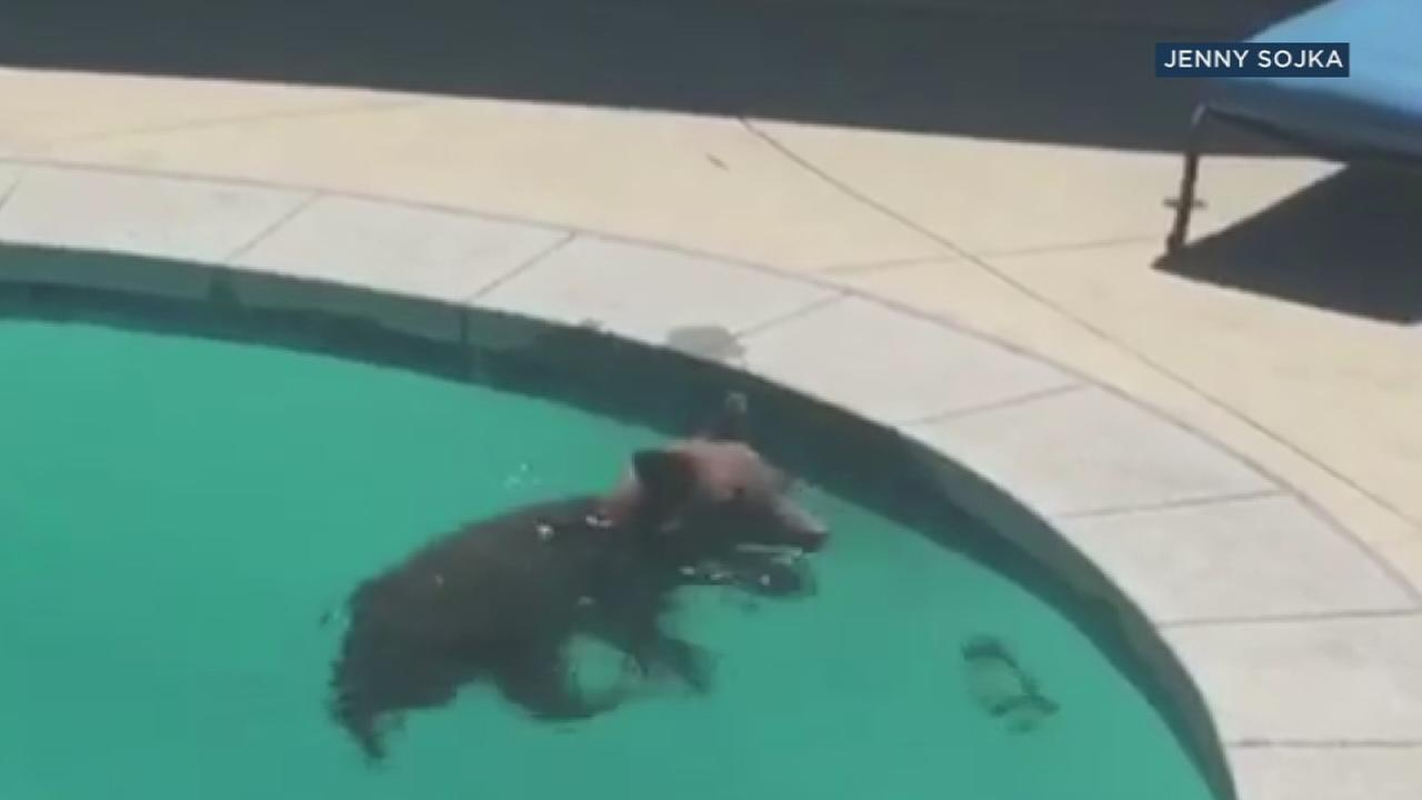A bear wandered out of the Angeles National Forest and took a dip in an Altadena familys backyard pool.