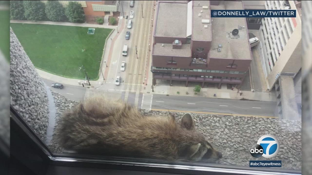 A raccoon stranded on the ledge of a building in St. Paul, Minnesota on Tuesday, June 12, 2018.