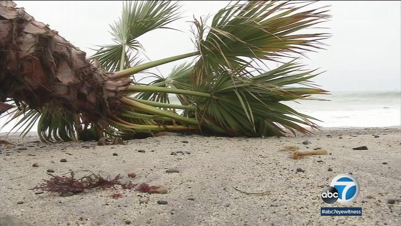 King tides at Doheny State Beach are quickly eroding and toppling palm trees.