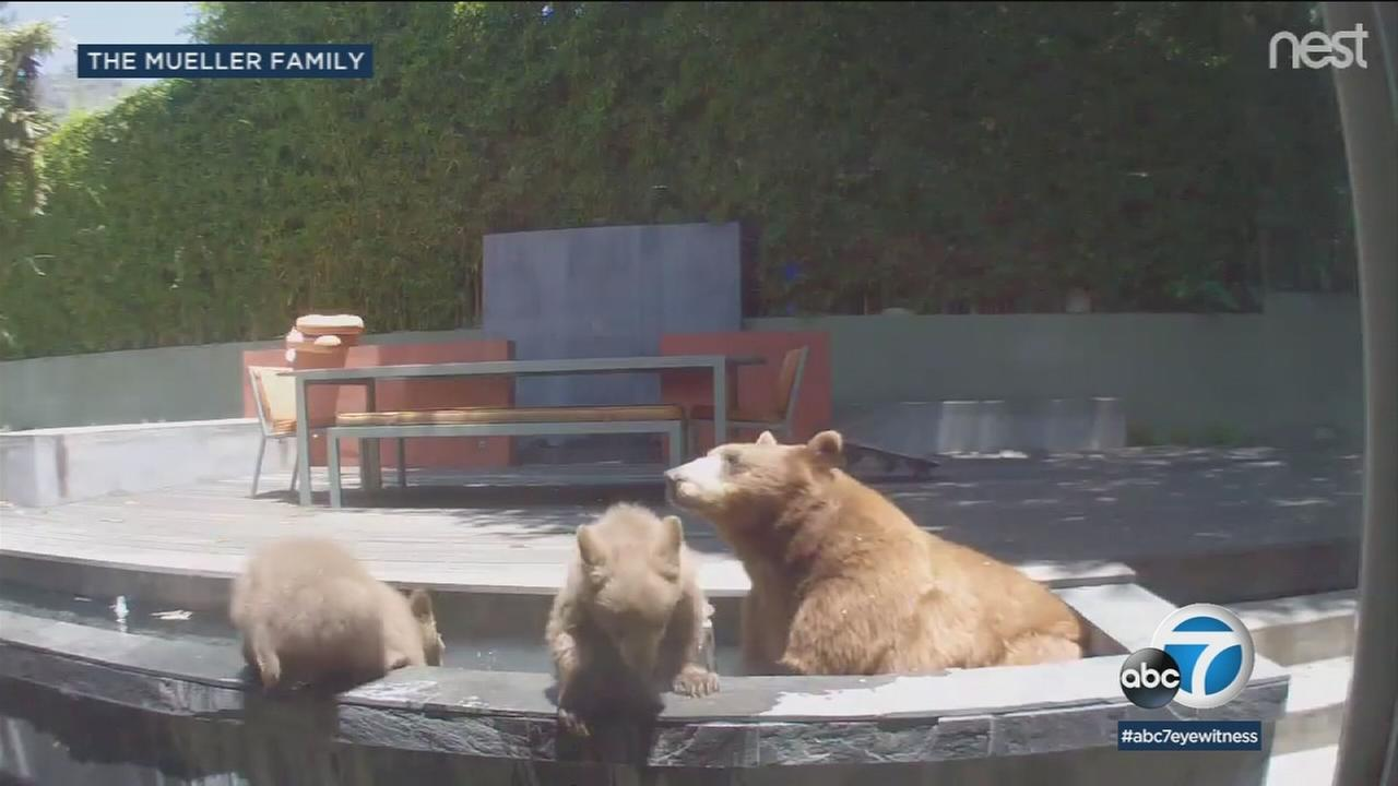 With summer heating up, a pair of cubs and their mom decided to cool off by taking a dip inside a familys pool near Pasadena.