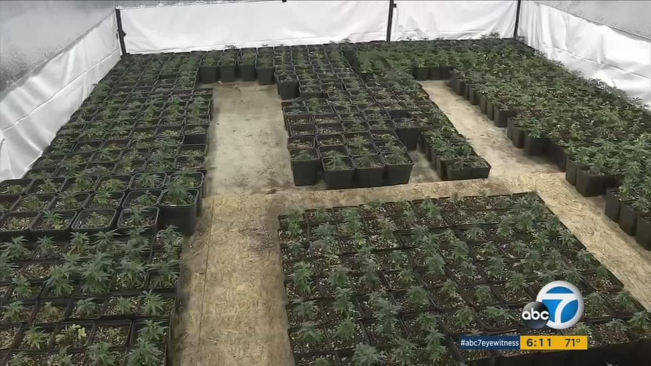 Three men have been arrested after San Bernardino County Sheriffs deputies find 3,000 marijuana plants at a residence in Phelan.