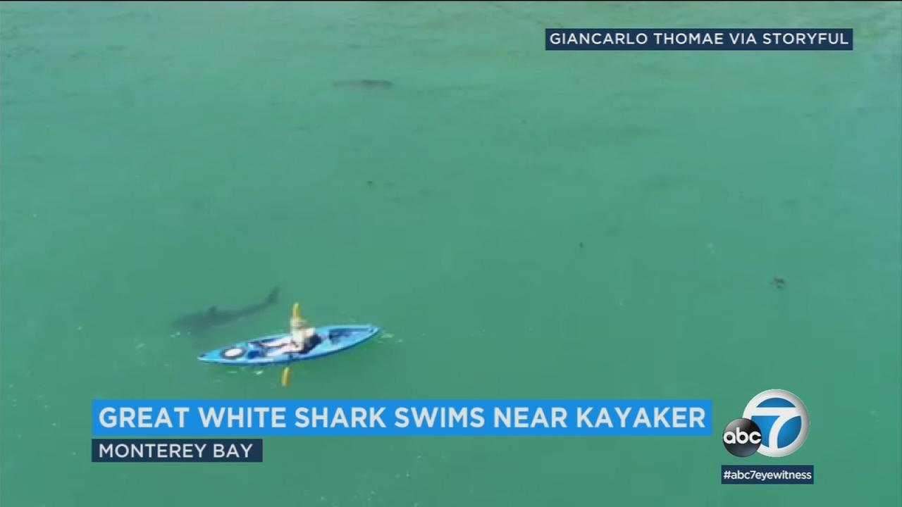 Video shows the moment a great white shark swam within feet of a kayaker in California.