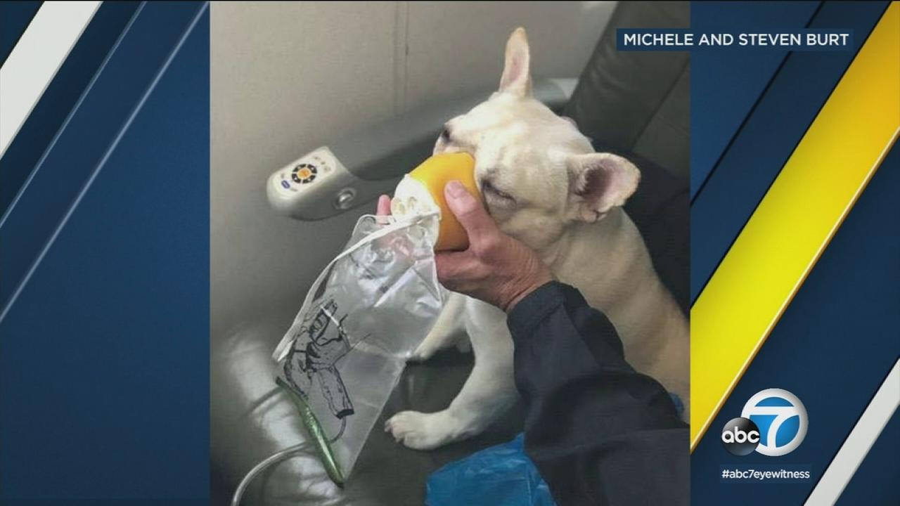 A couple credited a fast-acting flight crew with saving their dogs life after it had a hard time breathing aboard an airplane.