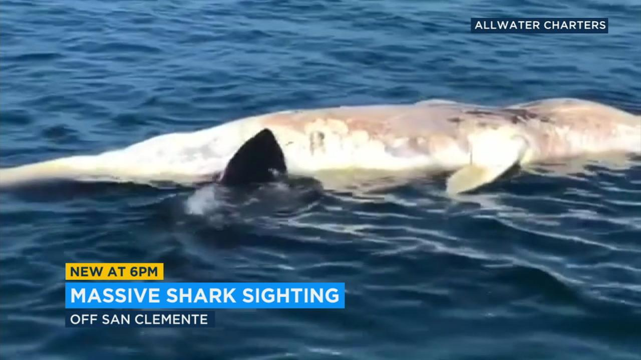 A great white shark estimated to be about 17 feet long was captured on video feasting on a dead small whale a mile off San Clemente.