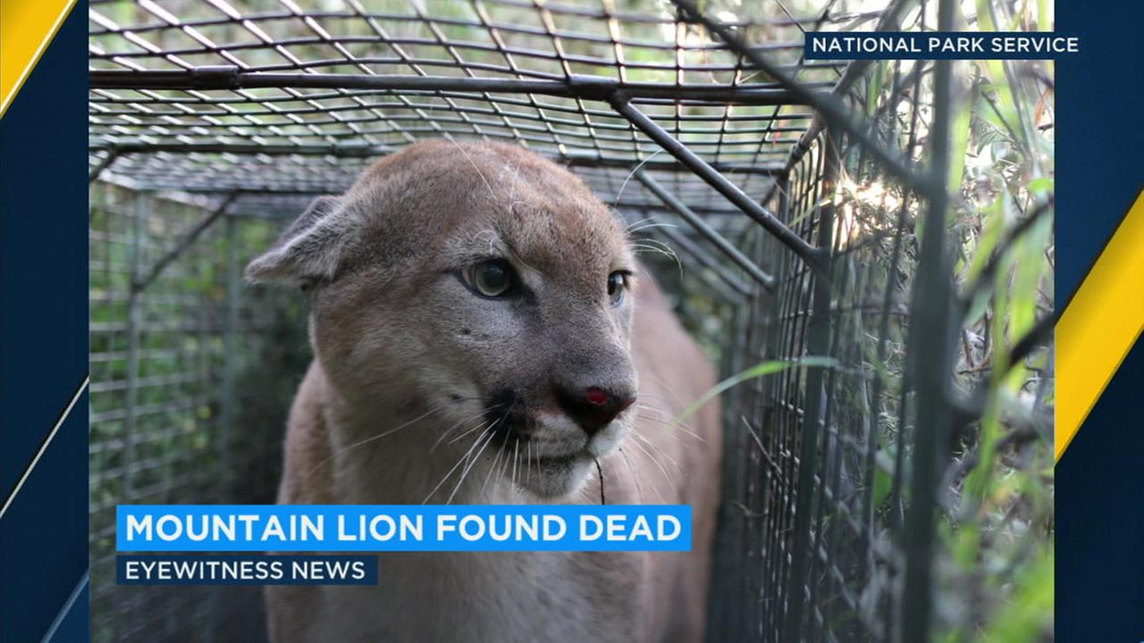 Officials with the Santa Monica Mountains National Recreation Area found the remains of the mountain lion known as P-55 on Wednesday.