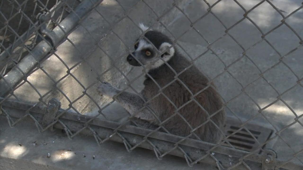 A lemur stolen from the Santa Ana Zoo last weekend is back in captivity.