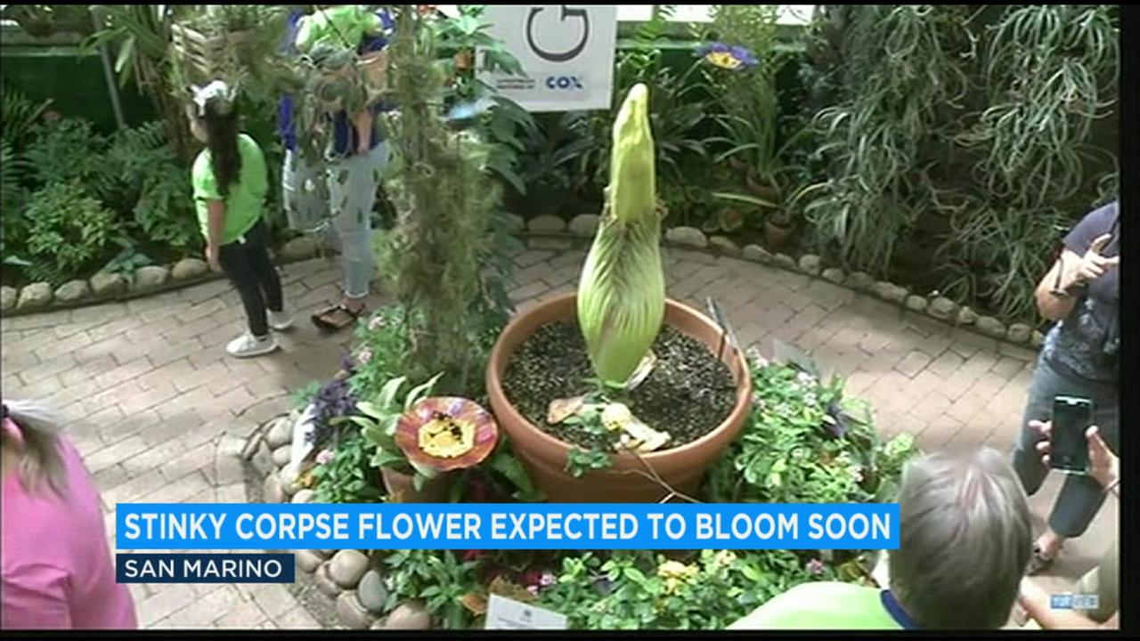 The Huntington Library says the plant nicknamed Lil Stinker has plumped up in the last few days and is likely to bloom this week.