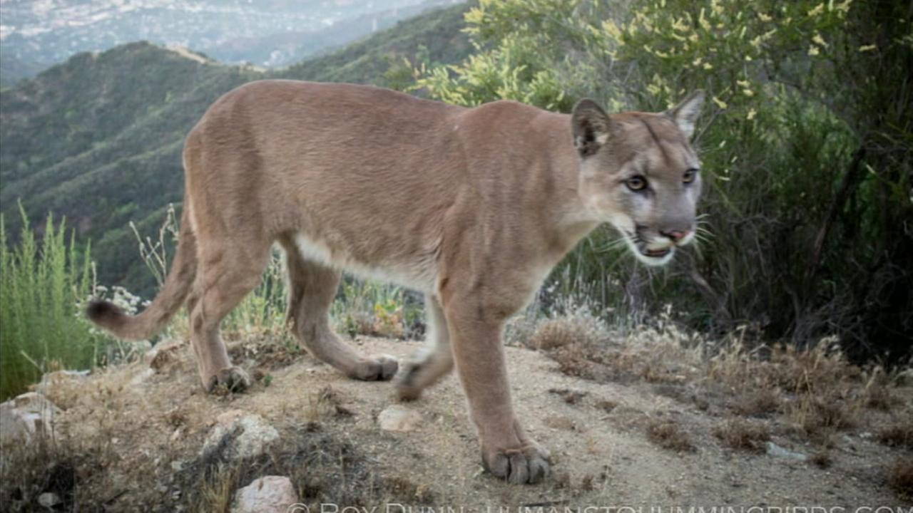 Adonis, the new male mountain lion in the Verdugo Mountains, is captured in a night photo.