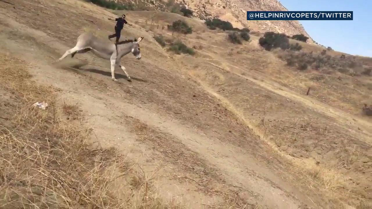 Riverside County animal services personnel captured footage of the release of the wild donkey.