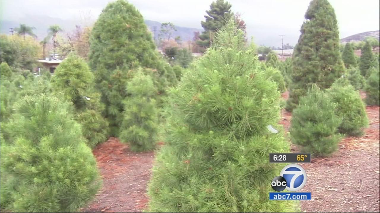 Christmas trees at Greenspot Farms in Mentone are shown in this undated file photo.