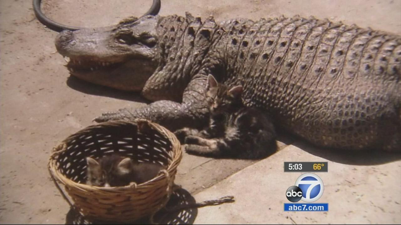 Jaxson, an 8-foot alligator, is seen in a Van Nuys backyard in this undated photo.