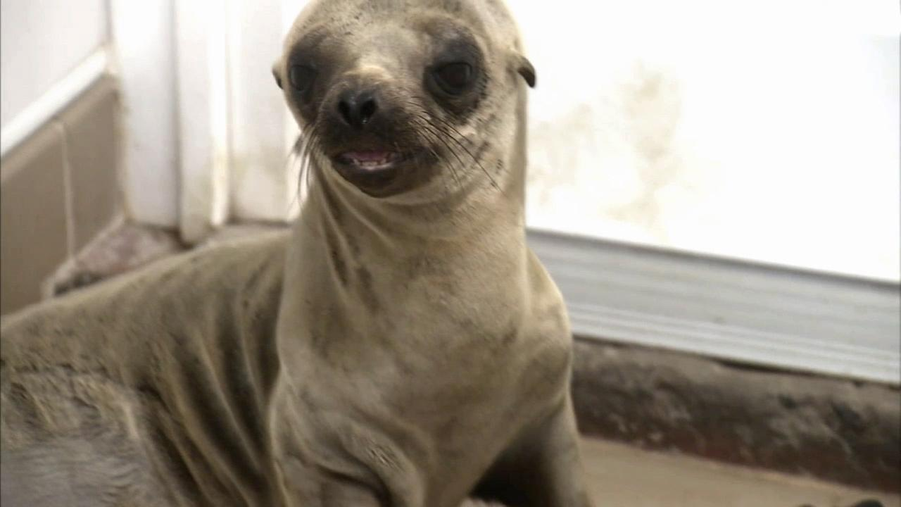 One of several sick sea lions is being treated at the Pacific Marine Mammal Center in Laguna Beach.