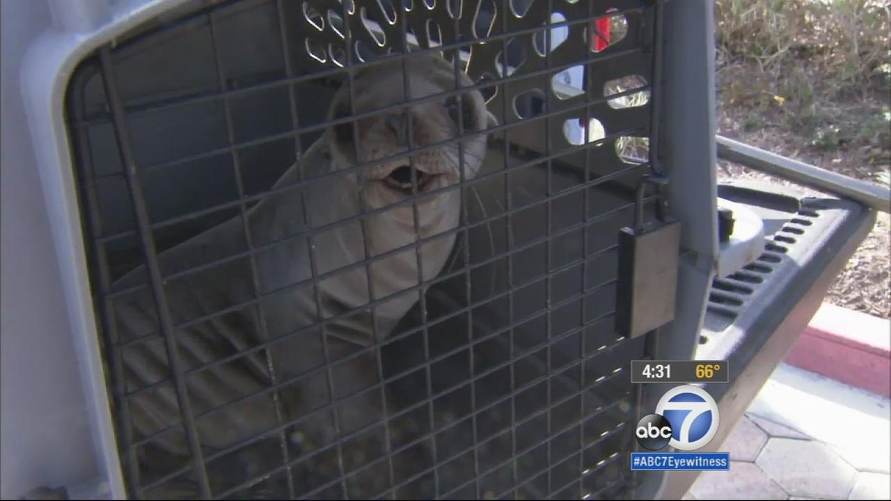 A lost sea lion pup was rescued after wandering around an apartment complex in Marina del Rey Monday, Feb. 16, 2015.