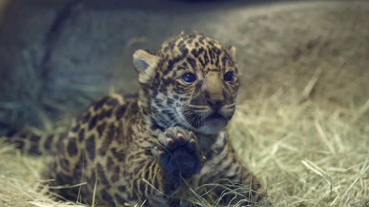 An 18-day-old jaguar cub debuted at the San Diego Zoo.