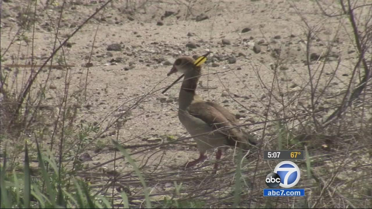 Officials are trying to capture an Egyptian goose that was spotted with an arrow in its neck in the Anaheim Hills area.