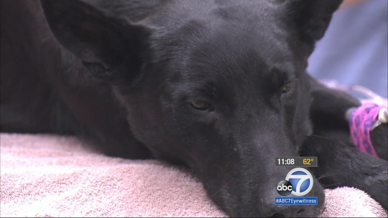A Monterey Park police K-9 is in critical condition after she tracked a suspect and was suddenly attacked by a swarm of bees.