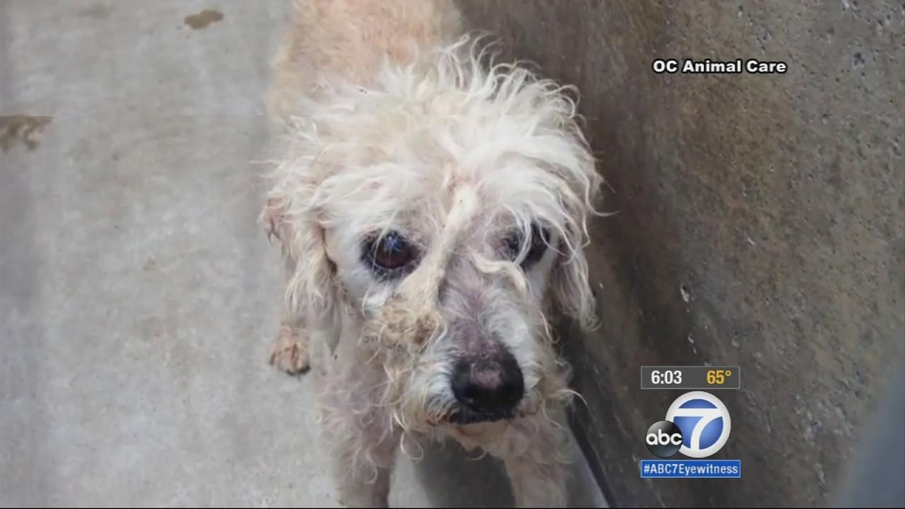One of 22 dogs found in a Santa Ana womans home is shown in this photo on Tuesday, May 19, 2015.