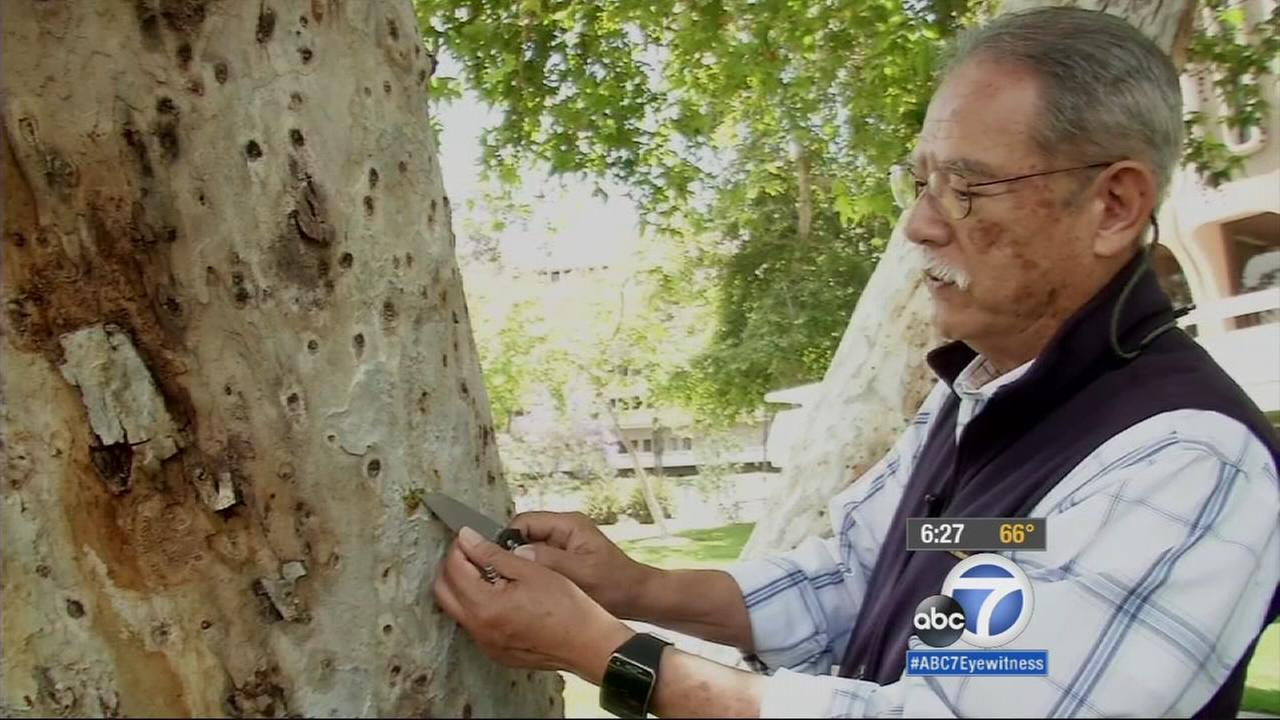 UC Irvines environmental staff is watching more than 1,500 trees closely with plans to chop down at least 1,000, because theyve been invaded by a tiny species of beetle.