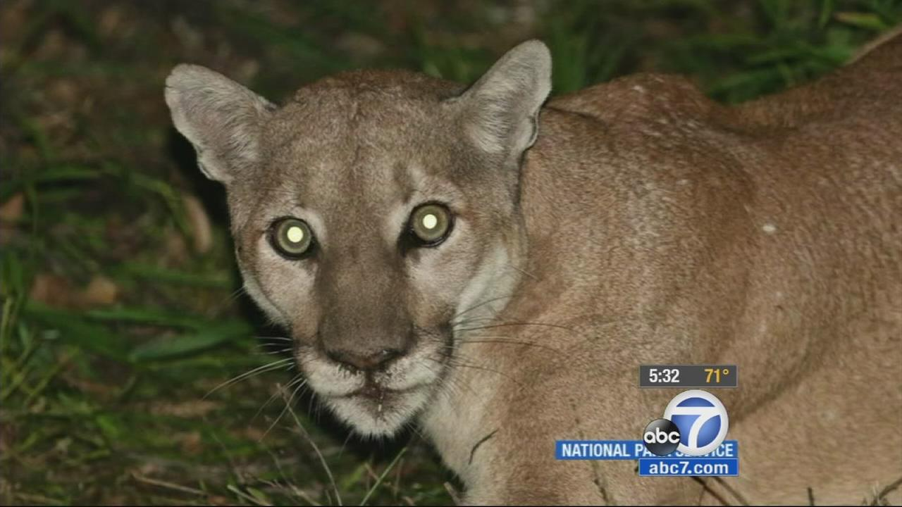 Mountain lion, P-41, is shown in this undated file photo.