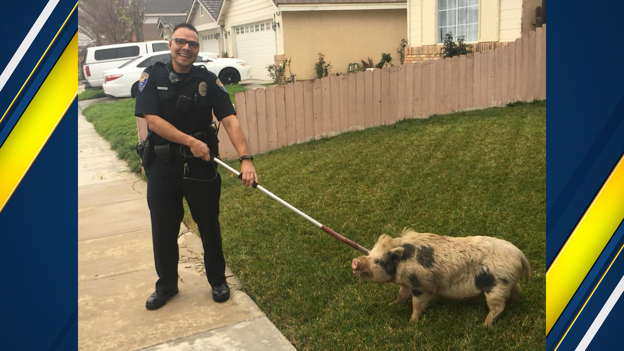Owner of pig caught roaming the streets of Los Banos found