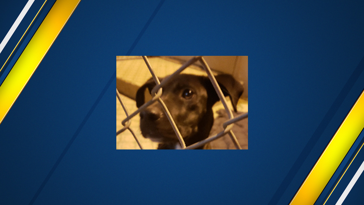 Black Labrador mix found tied up and left to die in Tulare County
