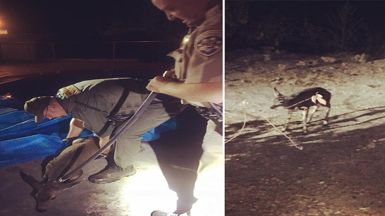 Madera County Sheriff's Department rescues deer from swimming pool