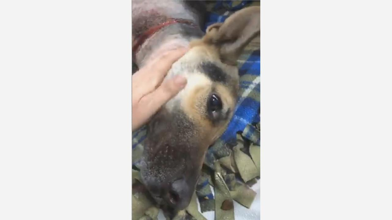 (GRAPHIC) Dog with rope embedded in neck is dropped off at Fresno Humane Animal Services