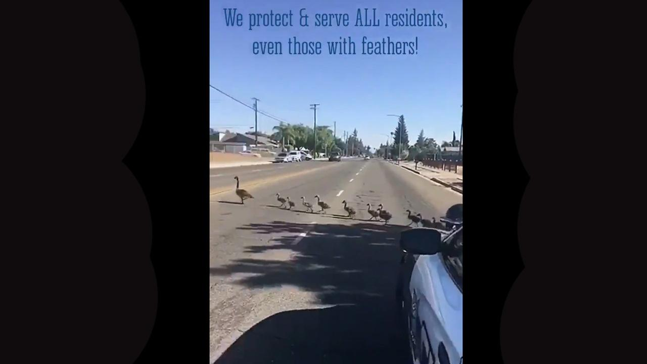 Clovis Police escort family of geese safely across to ponding basin