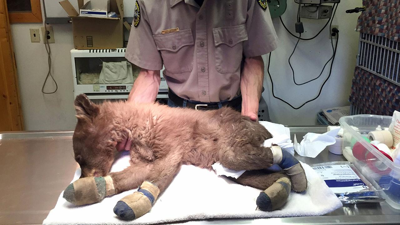 In this photo provided by Colorado Parks and Wildlife, Michael Sirochman, a veterinary technician, treats a bear cub whose paws were burned in a wildfire.