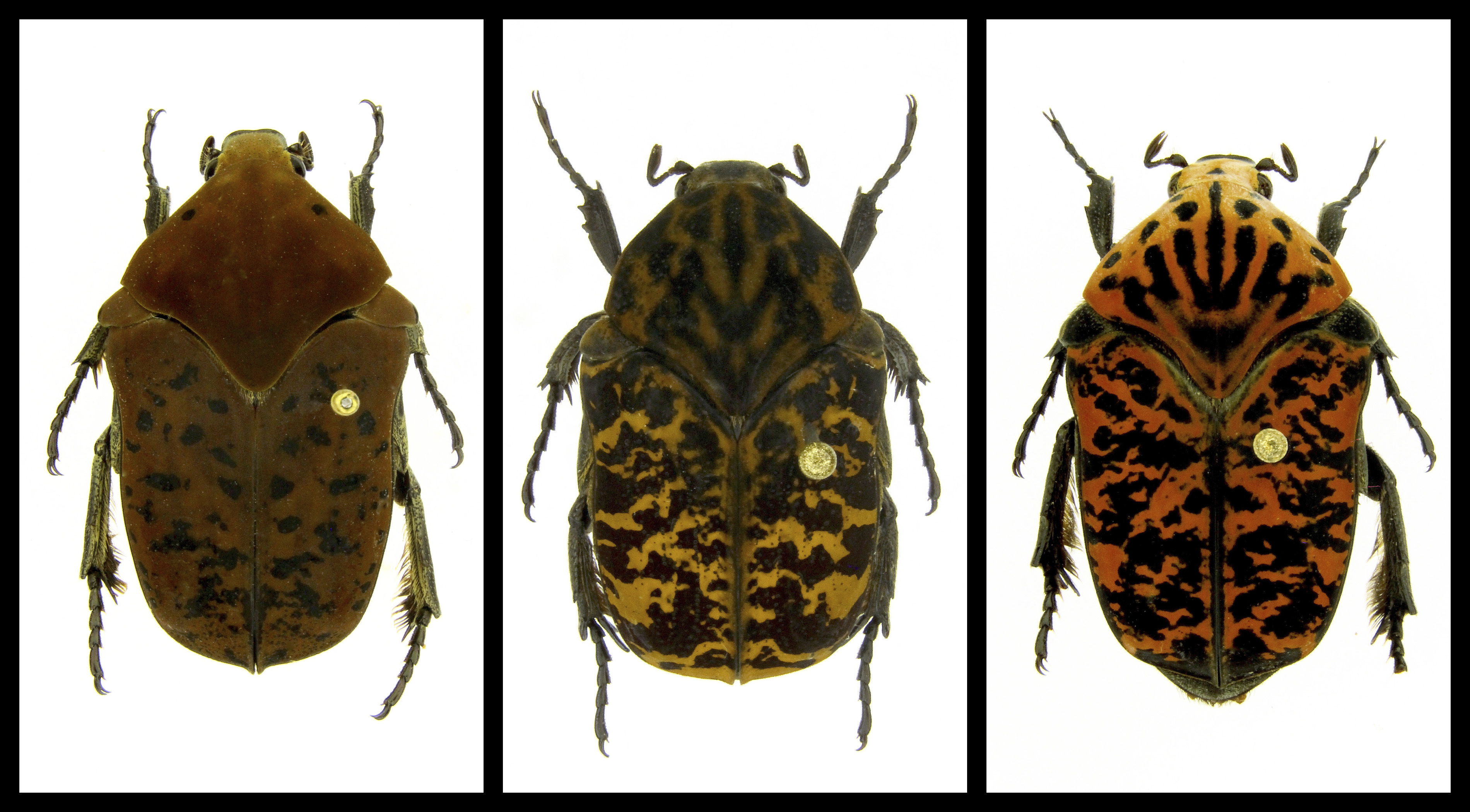 This combination of undated photos provided by Brett Ratcliffe in Dec. 2018 shows, from left, Gymnetis drogoni, Gymnetis rhaegali and Gymnetis viserioni beetles from South America.