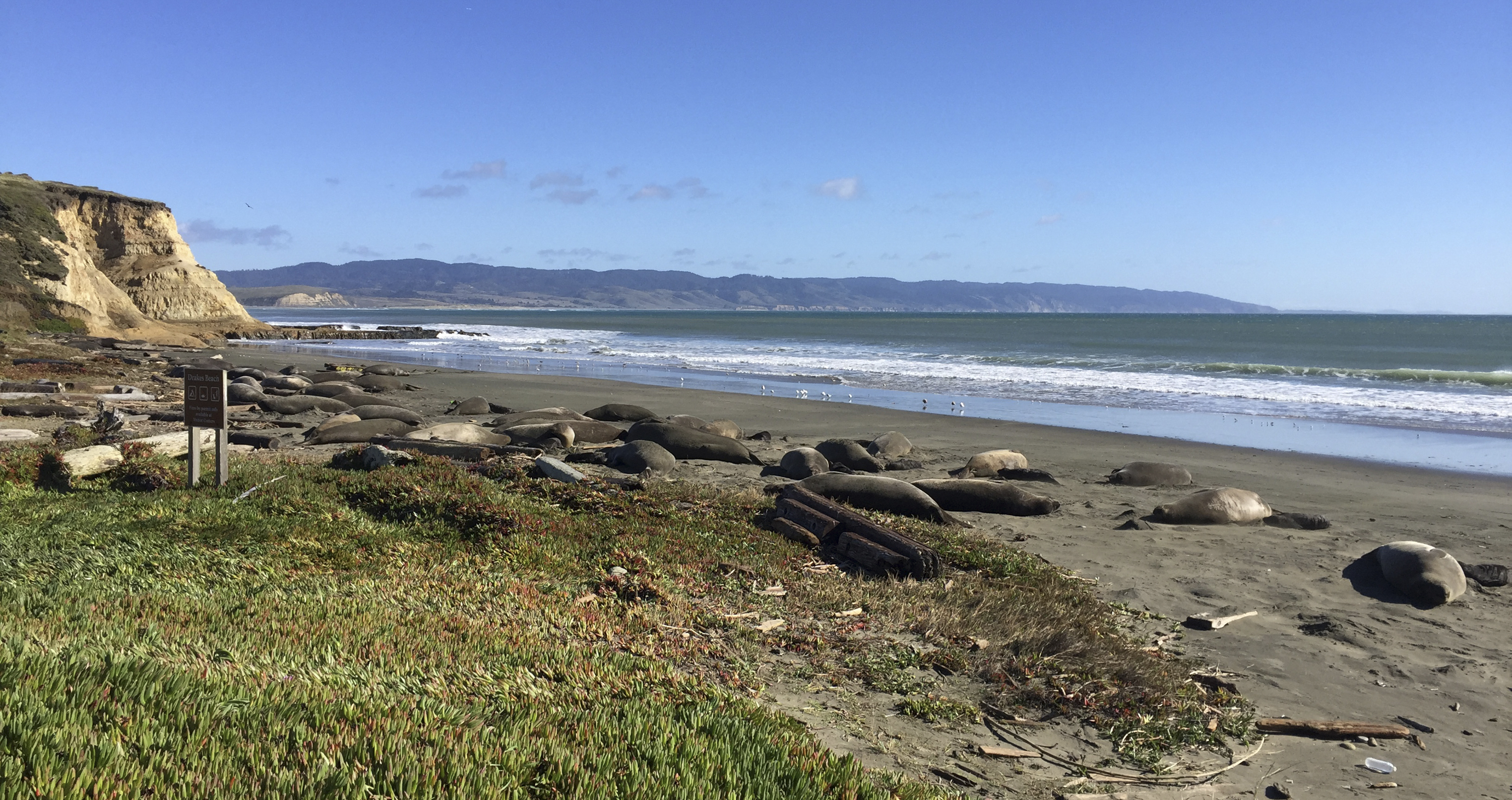 Photo taken Jan. 21, 2019, provided by the Point Reyes National Seashore, a colony of elephant seals that took over a beach in Northern California during the government shutdown.