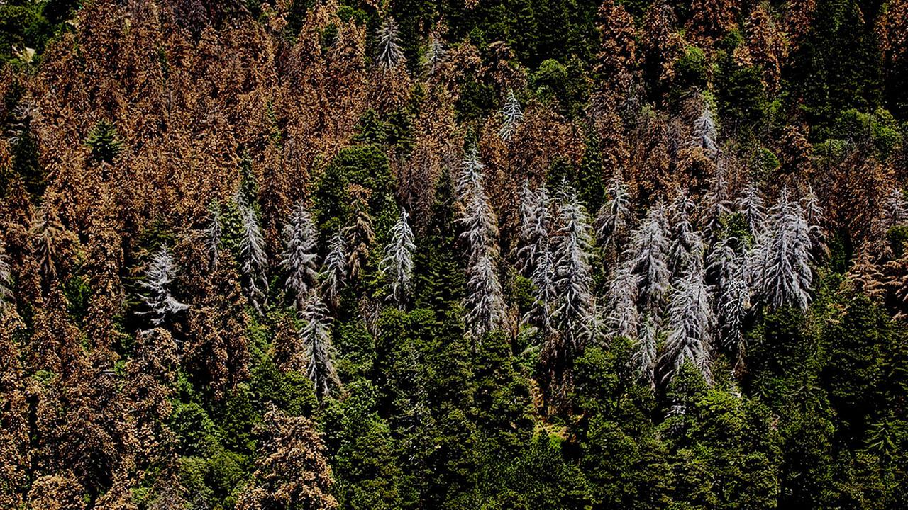 Hundreads of trees sit dead in the San Bernardino National Forest in California, due to drought and the Bark Beetle