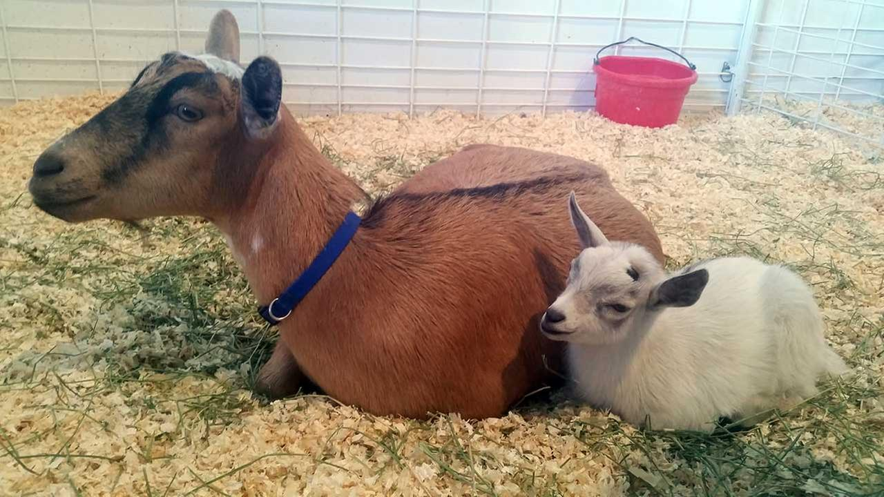 GusGus, right, sits next to his mother, Custard, after they are reunited at the Arizona State Fair in Phoenix, Thursday, Nov. 5, 2015.