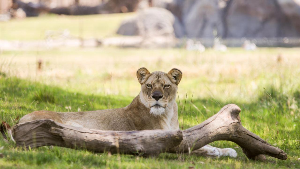 Kiki, the African Lion at Fresno Chaffee Zoo