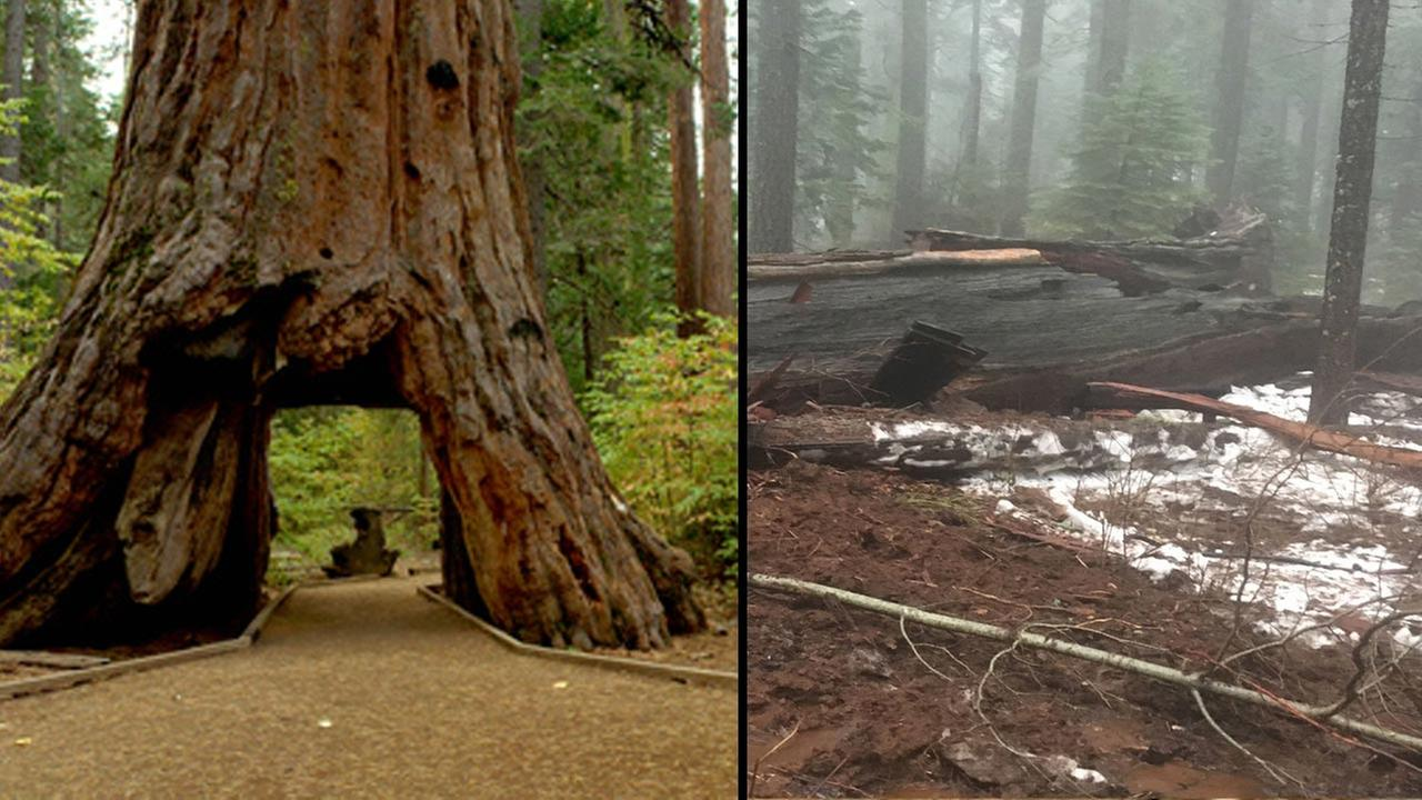 Before and after picture of the Pioneer Cabin tree at Calaveras Big Trees State Park.