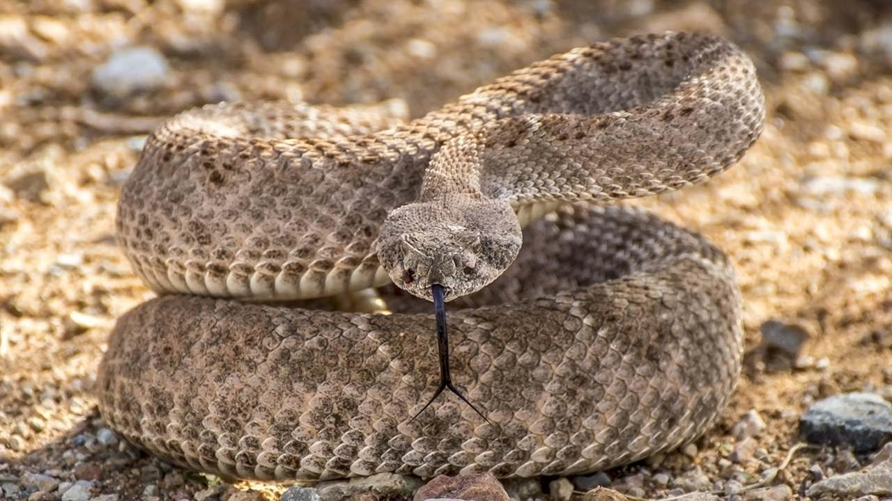 The Chaffee Zoo and California Poison Control worked together to educate people on the dangers of rattlesnakes.