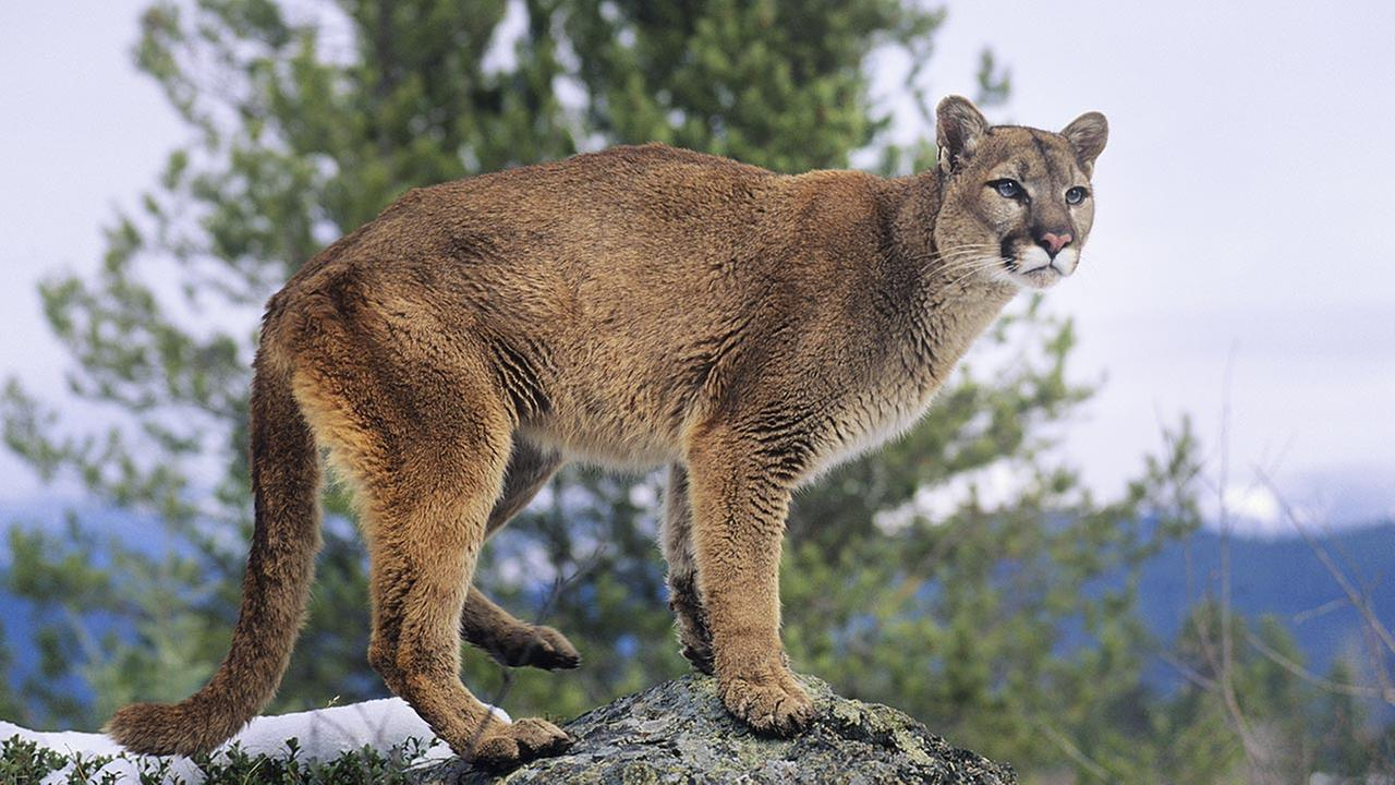 FILE: Mountain Lion standing on rock