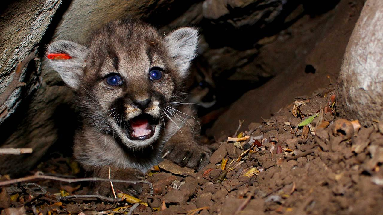 A mountain lion kitten identified as P-68. This is one of four new mountain lion kittens found by researchers studying the wild cats living in the Santa Monica Mountains.