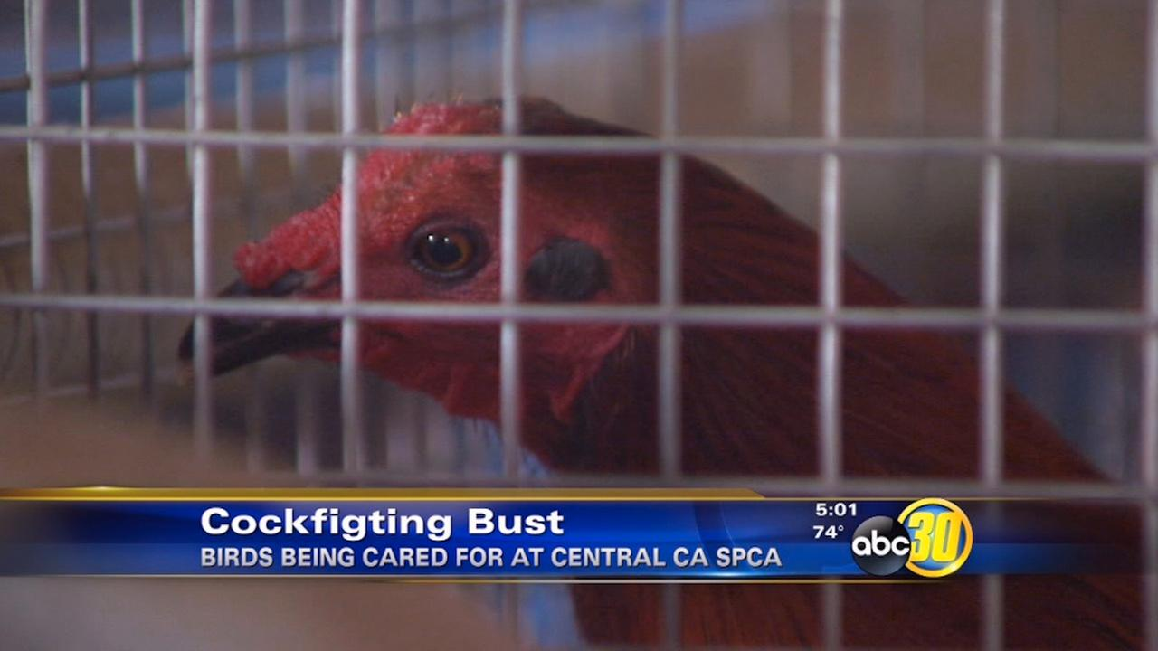 Cockfighting ring investigation in Central California