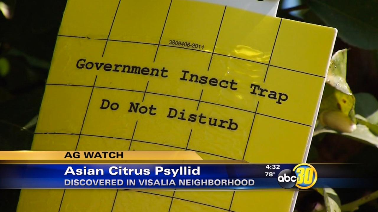 Asian citrus psyllid discovered in Visalia neighborhood