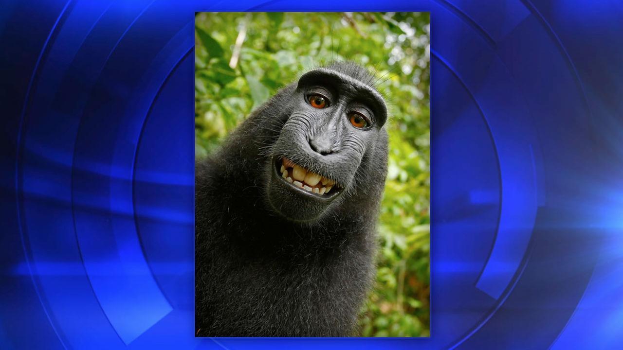 macaque monkey selfie