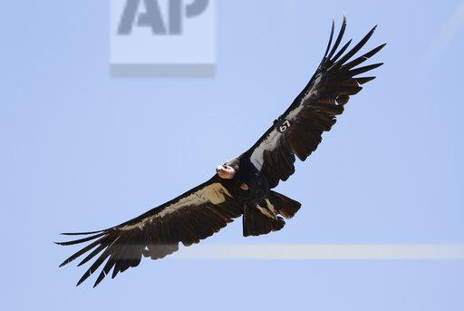 California condor shot and killed in Tulare County, $15,000 reward offered