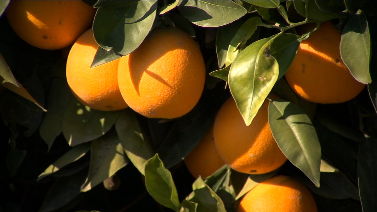 Citrus growers avoid major damage after hard freeze warning
