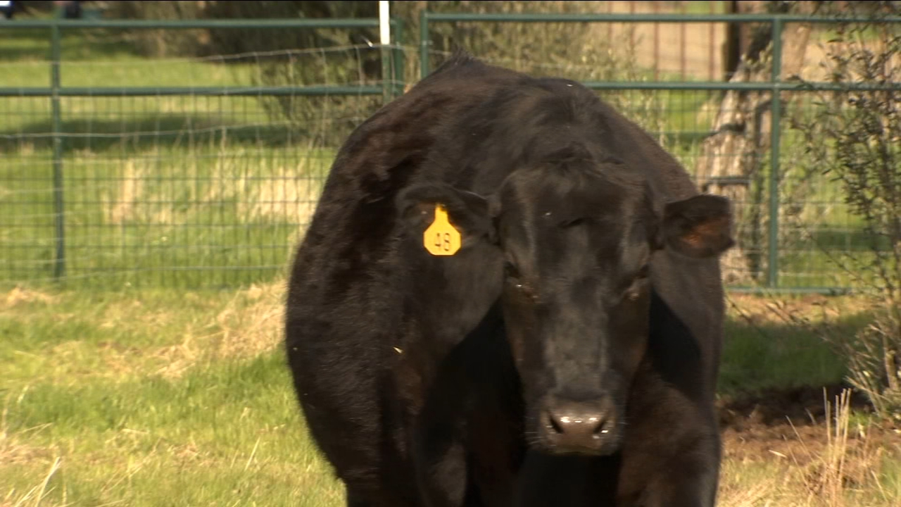 Recent storm brings greener pastures for cattle ranchers in Reedley